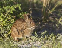 Marsh Rabbit on sand dune. An adorable Marsh Rabbit giving me an funny look while hanging out in central Florida Royalty Free Stock Photos