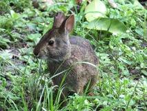 Marsh Rabbit Sylvilagus palustris royaltyfri fotografi