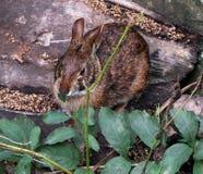Marsh Rabbit (Sylvilagus palustris) Royalty Free Stock Images