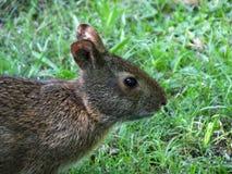 Marsh Rabbit (Sylvilaguspalustris) arkivfoton