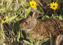 Marsh Rabbit in yellow flowers. An adorable Marsh Rabbit giving me an funny look while eating greens in central Florida Stock Photography
