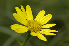 Marsh Ragwort Stock Image