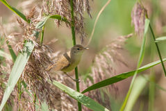 Marsh Reed-warbler Stock Photo