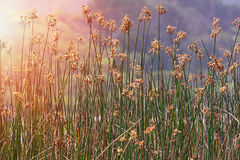 Marsh reeds. Blowing in the wind bearing brown flowers and seeds royalty free stock images