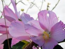 Marsh Rose se développe dans l'ensemble du marécage de Montezuma photos stock