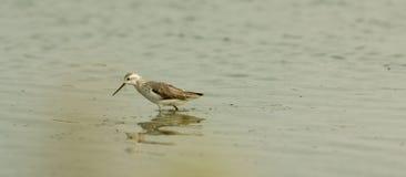 Marsh Sandpiper royalty-vrije stock afbeelding