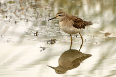 Marsh Sandpiper Royalty Free Stock Images