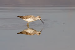Marsh Sandpiper Royalty Free Stock Photography