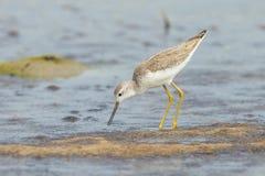 Marsh Sandpiper stock afbeelding
