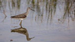 Marsh Sandpiper royalty-vrije stock fotografie