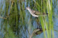 Marsh Sandpiper in het Moeras stock afbeelding