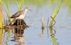Marsh Sandpiper in het Moeras royalty-vrije stock foto