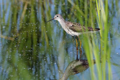 Marsh Sandpiper in the Marsh Stock Image