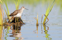 Marsh Sandpiper in the Marsh Royalty Free Stock Photo