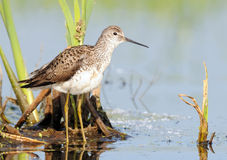 Marsh Sandpiper in marsh. Marsh Sandpiper (Tringa stagnatilis) near nest at flood-lands of Moskva-river. Moscow region, Russia stock photography