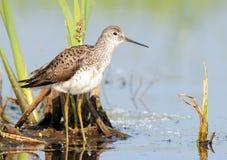 Marsh Sandpiper in moeras stock fotografie