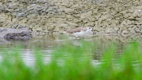 Marsh Sandpiper or Tringa stagnatilis. Marsh Sandpiper or  Scientific name : Tringa stagnatilis are feeding on the beach. In low tide Stock Images