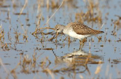 Marsh sandpiper (tringa stagnatilis) Royalty Free Stock Image