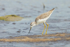 Marsh Sandpiper Stock Image