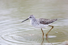 Marsh Sandpiper (Tringa stagnatilis). Wild bird in a natural habitat.  A small pond for summer watering of livestock size 40x40 meters in the field. Shot from Royalty Free Stock Images