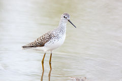 Marsh Sandpiper (Tringa stagnatilis). Wild bird in a natural habitat.  A small pond for summer watering of livestock size 40x40 meters in the field. Shot from Royalty Free Stock Photography