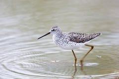 Marsh Sandpiper (Tringa stagnatilis) Royalty Free Stock Images