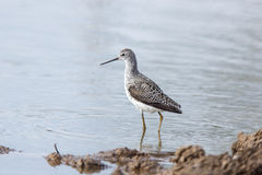 Marsh Sandpiper (Tringa stagnatilis) Royalty Free Stock Photos