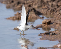 Marsh Sandpiper (Tringa stagnatilis) Royalty Free Stock Photography