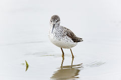 Marsh Sandpiper (Tringa stagnatilis) Stock Photography