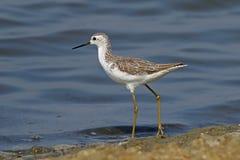 Marsh Sandpiper Tringa-stagnatilisshorebirds van Thailand royalty-vrije stock afbeelding