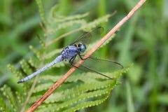 Marsh Skimmer - Portrait of dragonfly Royalty Free Stock Image
