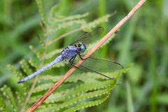 Marsh Skimmer - retrato de la libélula Imagen de archivo libre de regalías