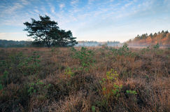 Marsh with small pine trees in misty autumn morning Royalty Free Stock Photos