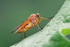 Marsh Snipefly. (Rhagio tringarius) is a yellowy-orange fly with long, slender legs stock photo