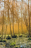 Marsh in Spring. Swamp with grass and trees in spring Stock Photo