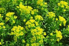 Marsh spurge Euphorbia palustris Royalty Free Stock Photography