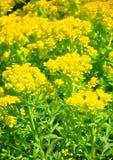 Marsh spurge Euphorbia palustris Royalty Free Stock Image