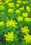 Marsh spurge Euphorbia palustris Stock Photo