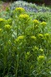 Marsh spurge Euphorbia palustris Royalty Free Stock Images