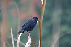 Marsh Starling Fotografering för Bildbyråer