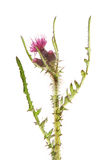 Marsh thistle royalty free stock images