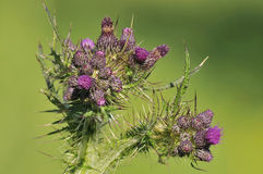 Marsh Thistle Stock Photos