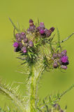 Marsh Thistle Stock Images