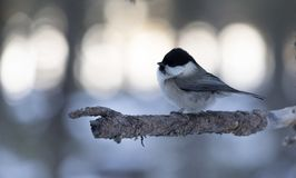 Marsh Tit fotografia stock