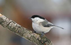 Marsh-tit Royalty Free Stock Photos