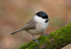 Marsh Tit. (Parus palustris) and green moss Stock Photo