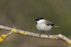 Marsh tit Royalty Free Stock Photo