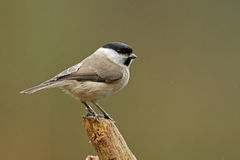 Marsh tit Stock Images