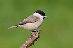 Marsh Tit. Sitting on a stick royalty free stock photos