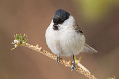 Marsh Tit Foto de Stock Royalty Free